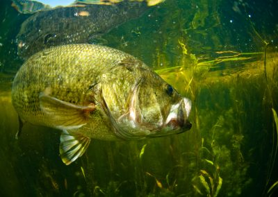 Largemouth bass swimming in water